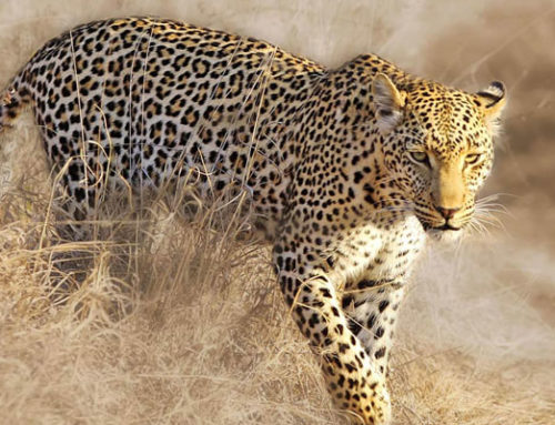 All About the Leopard